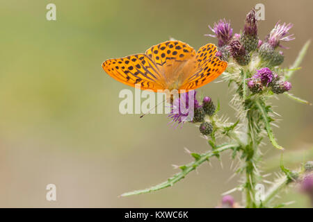 Silver Washed Fritillary butterfly (Argynnis paphia) feeding on a thistle. Goatenbridge, Tipperary, Ireland. - Stock Photo