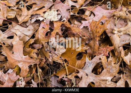 Fall Leaves _ Simsbury, Connecticut, USA - Stock Photo