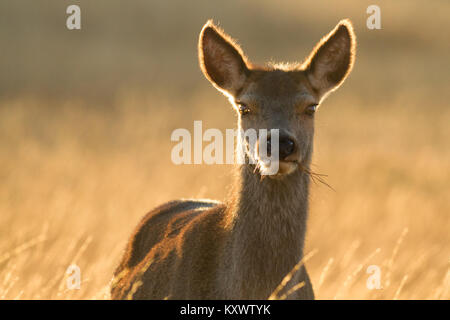 Close up of a stunning wild red deer in beautiful sunlight on the Isle of Islay - Stock Photo