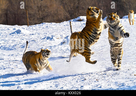 Fighting Siberian tigers in the tiger conservation park in Hailin, Heilongjiang province, North East China - Stock Photo