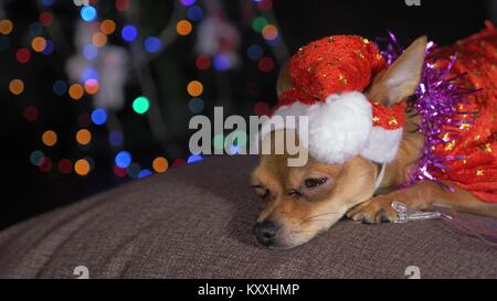 The Toy Terrier is a yellow New Year's dog. A funny dog in a Christmas cap lies and looks around. He falls asleep - Stock Photo