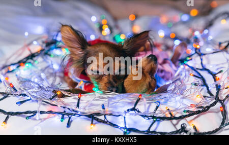 Two Toy Terrier is a yellow New Year's dog. Two dogs lie ridiculously and fall asleep. They are surrounded by garlands - Stock Photo