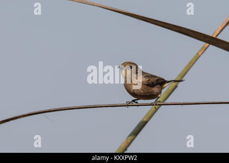 Female pied bush chat sitting on blade - Stock Photo
