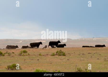 Overgrazing by cattle on public Bureau of Land Management land in SW Idaho - Stock Photo