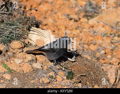Male Black Redstart Phoenicurus ochruros Algarve Portugal. - Stock Photo