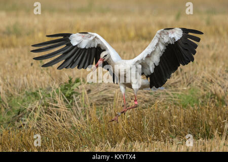 White stork (Ciconia ciconia) in flight over a stubble field - Stock Photo