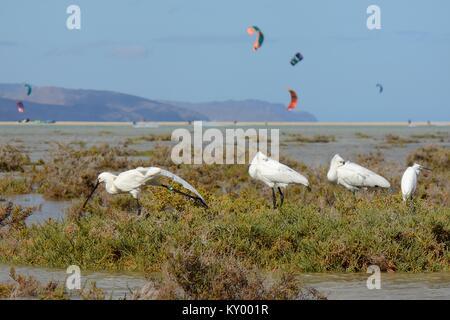 Three Eurasian spoonbills (Platalea leucorodia) and a Little Egret resting in Sotavento lagoon with kite surfers - Stock Photo