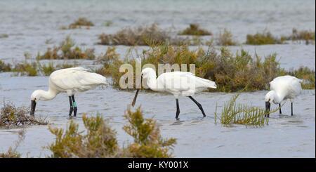 Three Eurasian spoonbills (Platalea leucorodia) foraging together in tidal marshland, Sotavento lagoon, Fuerteventura, - Stock Photo