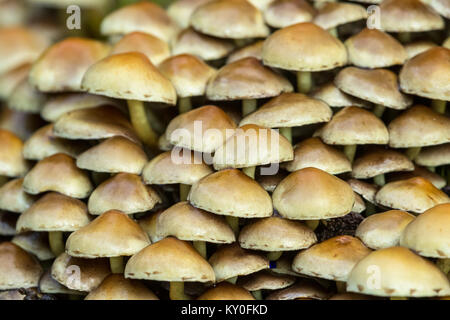 Conifer Tuft (Hypholoma capnoides) in the forest floor, - Stock Photo