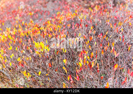Closeup field of wild red, yellow blueberry leaves bushes in autumn fall foliage in Dolly Sods, West Virginia meadow - Stock Photo