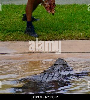 Large saltwater crocodile, Crocodylus porosus, in a show at australia zoo, Australia Zoo, Beerwah, Queensland, Australia - Stock Photo