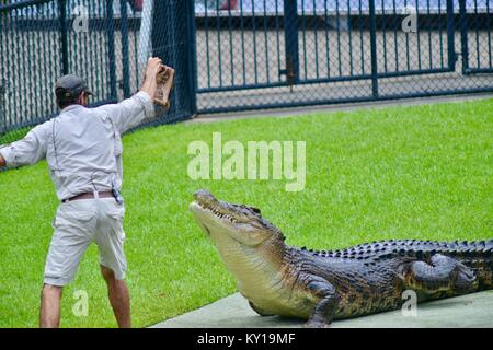 Large saltwater crocodile, Crocodylus porosus, coming out of the water to get meat from a trainer, Australia Zoo, - Stock Photo