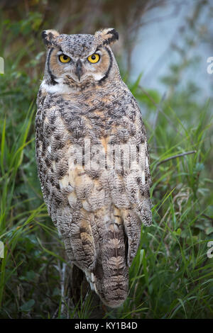 Great Horned Owl (Bubo virginianus) perched on a shrub in riparian forest