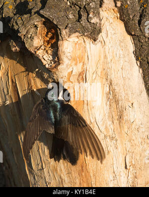 Tree Swallow entering nesting hole in Balsam Poplar tree to feed its young (Tachycineta bicolor) - Stock Photo