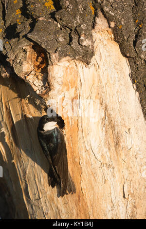 Tree Swallow perched on the edge of nesting hole in Balsam Poplar tree before entering to feed its young (Tachycineta - Stock Photo