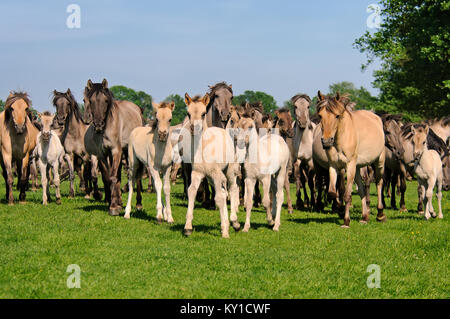 Group of Duelmen ponies with foals, grullo dun coat, the last feral horses in Germany, a native horse breed lives - Stock Photo