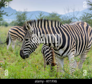 Outdoor color animal portrait of a cute sweet lovely single zebra in front of other zebras with green sunny background - Stock Photo