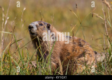 Marmot posing in the grass on sunny day - Stock Photo