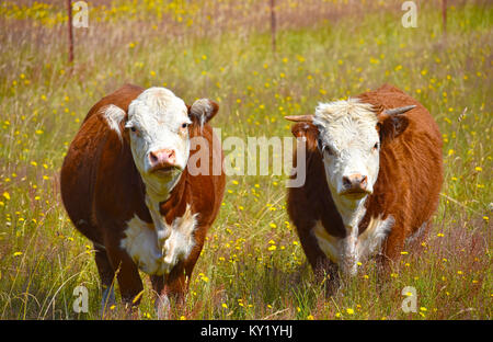 Cow and Bull in a field of dandelions. - Stock Photo