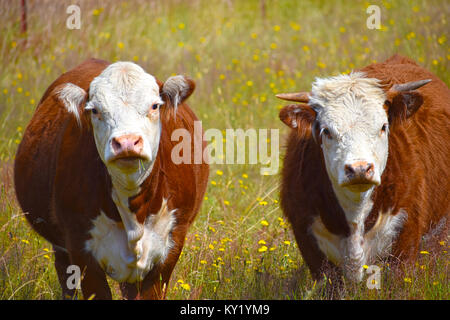 Cow and Bull in a dandelion field looking straight at the camera.  Grass is hanging from the cows mouth. - Stock Photo
