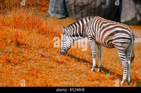 Zebra, Equus quagga, grazing Australia Zoo, Beerwah, Queensland, Australia - Stock Photo