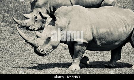 White rhinoceros, Ceratotherium simum simum, grazing on grass plains, Australia Zoo, Beerwah, Queensland, Australia - Stock Photo