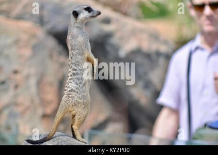Meerkat Australia Zoo, Beerwah, Queensland, Australia - Stock Photo