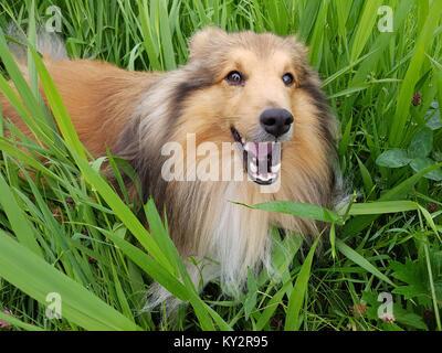 Sheltie; Shetland Sheepdog, mini collie - Stock Photo