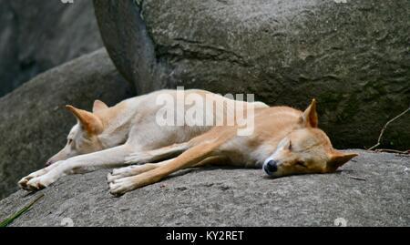 Dingoes, Canis lupus dingo, relaxing on large granite boulders, Australia Zoo, Beerwah, Queensland, Australia - Stock Photo