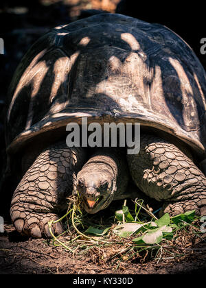 Giant Tortoise with open mouth - Stock Photo