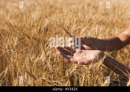Woman holding wheat crop in field - Stock Photo