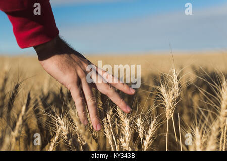 Woman touching wheat crop in field - Stock Photo