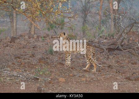 Cheetah Acinonyx jubatus in profile in African woodland at surise - Stock Photo