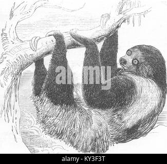 LONDON Sloth at the Zoological Gardens, Regent's Park 1844. The Illustrated London News - Stock Photo