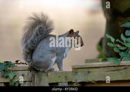 Grey squirrel, Sciurus carolinensis in Great St Mary's Churchyard Sawbridgeworth Hertfordshire. - Stock Photo