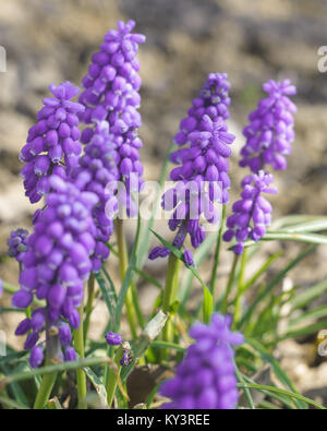 Muscari flowers blossom, floral natural spring background - Stock Photo