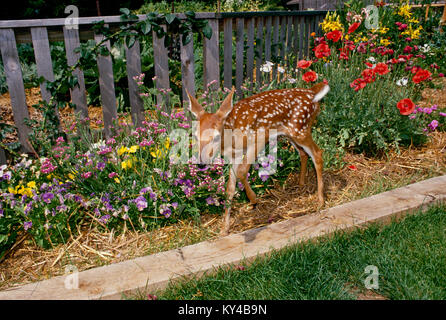 Baby White tailed deer, fawn, Odocoileus virginianus, tasks the pansies in the blooming summer flower garden, Missouri - Stock Photo