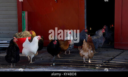 Chicken (Gallus gallus domesticus) flock in front of barn, wintertime, Yarmouth Maine - Stock Photo