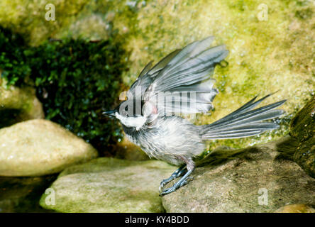 Black capped chickadee, Parus atricapillus, drying off and shaking the water after a bath in garden pool, summer, - Stock Photo