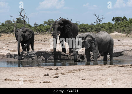 Elephant group at a waterhole in Chope National Park in Botswana - Stock Photo
