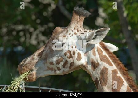 Giraffe, Giraffa camelopardalis, Bioparco, Rome, Italy - Stock Photo