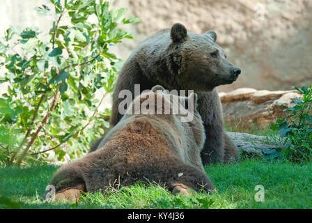 Brown bears, Ursus arctos, Bioparco, Rome, Italy - Stock Photo