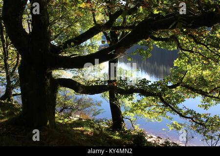 Tree silhouette in the October sunshine with water behind, Garreg Ddu reservoir Elan Valley, Powys, Mid Wales, taken - Stock Photo