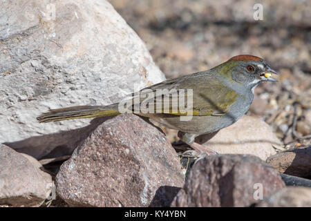 Green-tailed Towhee, (Pipilo chlorurus), Bosque del Apache National Wildlife Refuge, New Mexico, USA. Stock Photo