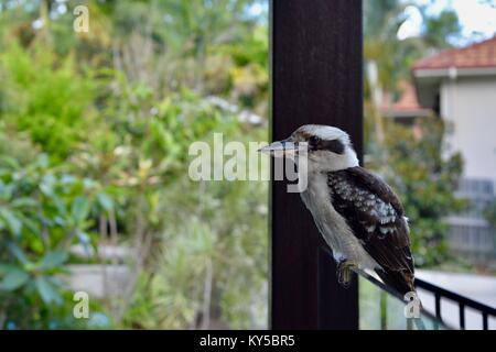 Laughing kookaburra (Dacelo novaeguineae) sitting on a glass pool fence, Sunshine coast, Queensland, Australia - Stock Photo