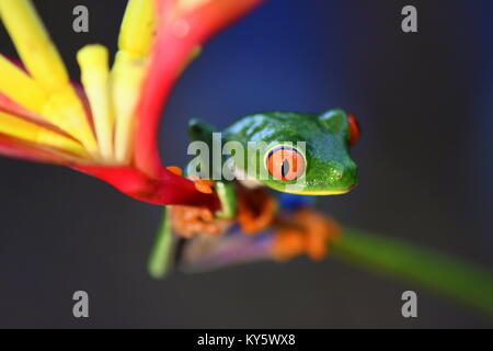 Red-eyed tree frog (Agalychnis callidryas) in Costa Rica lowland jungle - Stock Photo