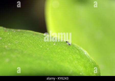 Close-up of a common black garden ant (Lasius niger) on a leaf - Stock Photo