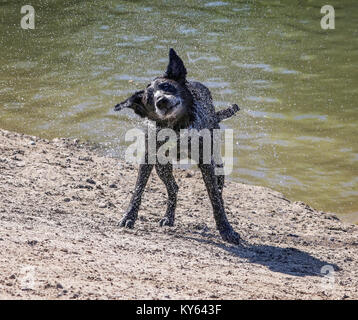 black lab or labrador retriever mix shaking water off after swimming in a pond on a hot summer day - Stock Photo