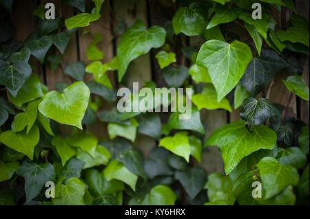 Ivy leaves growing on a wall in Durbanville, Cape Town, South Africa. - Stock Photo