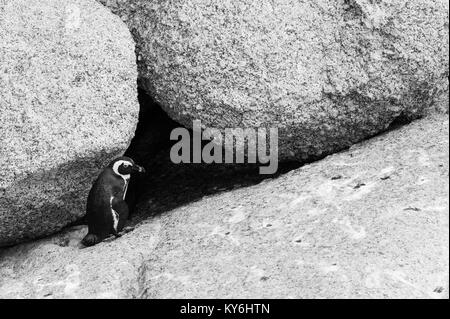 African Penguin, Spheniscus demersus, at Boulders Beach, Table Mountain National Park, Cape Town, South Africa - Stock Photo